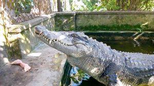 Nằm mơ thấy cá sấu đánh đề con gì chắc ăn nhất?