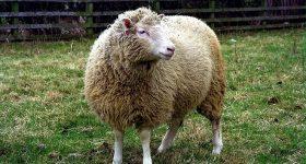 Ngủ mơ thấy con cừu nên đánh ngay con xổ số nào