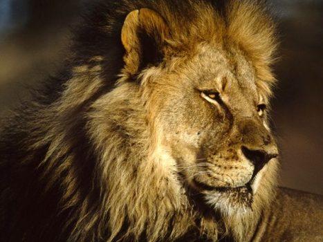 Giải đáp con số xổ số lô tô của giấc mơ thấy sư tử