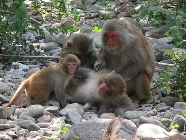 Chiêm bao thấy con khỉ nên đánh con loto nào