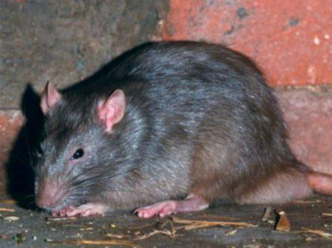 Nằm mơ thấy chuột cống có ý nghĩa gì chơi xổ số con gì may mắn