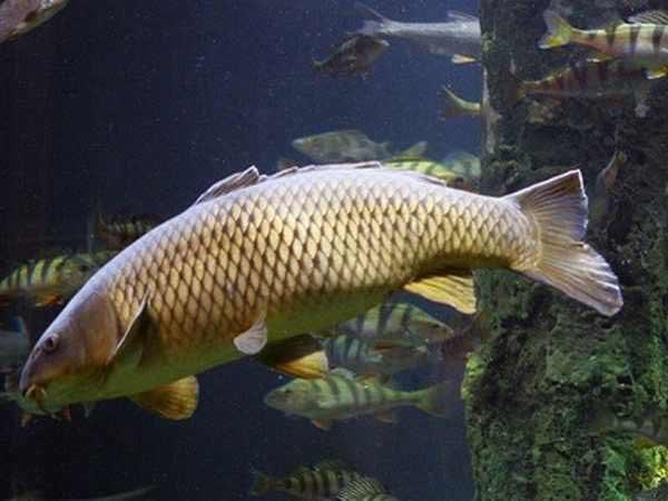 Mơ thấy cá chép là điềm báo gì? Lô đề con gì trúng lớn?