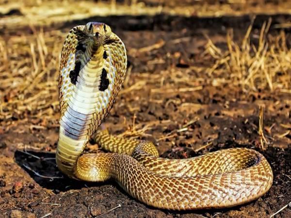 Mơ thấy rắn hổ mang là điềm báo gì và con số may mắn