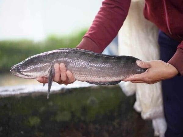 Phân tích ý nghĩa giấc mơ thấy cá chuối đánh cặp số nào?