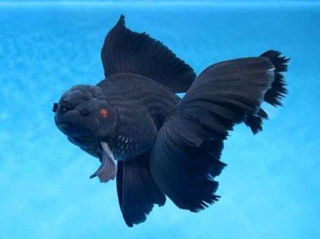Nằm mơ thấy cá đen đánh số mấy ? Là điềm lành hay dữ ?